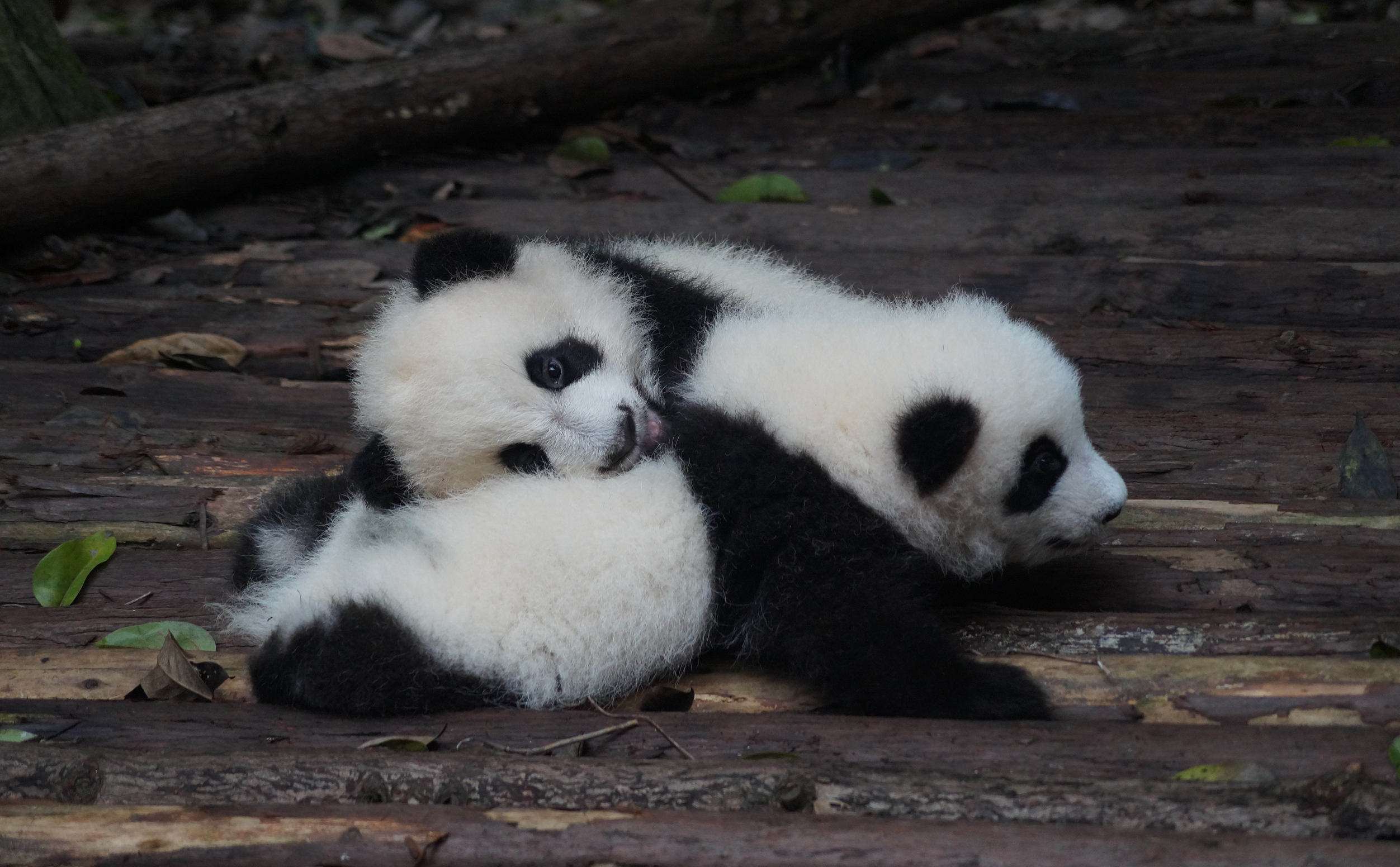 a couple of pandas